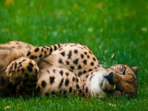 Guepardo tumbado sobre la hierba