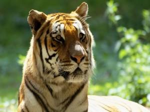 Postal: Cara de un hermoso tigre