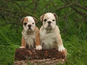 Postal: Dos Bulldog Inglés sobre los troncos