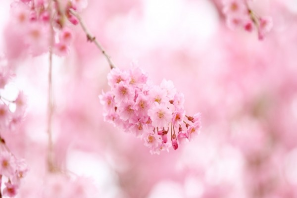 Hermosas flores rosas en las ramas de un árbol
