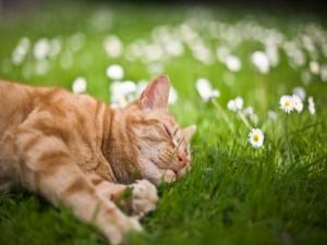 Postal: Gato dormido junto a las margaritas