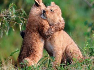 Cachorros de león dándose un abrazo