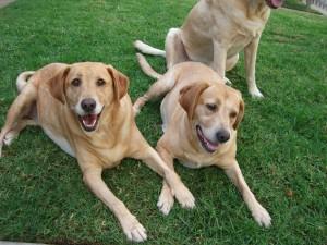 Perros sobre la hierba