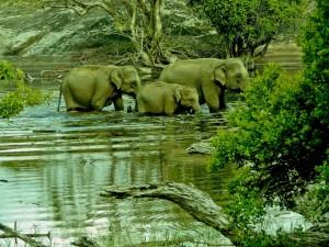 Familia de elefantes caminando por el agua