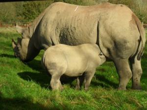 Pequeño rinoceronte alimentándose