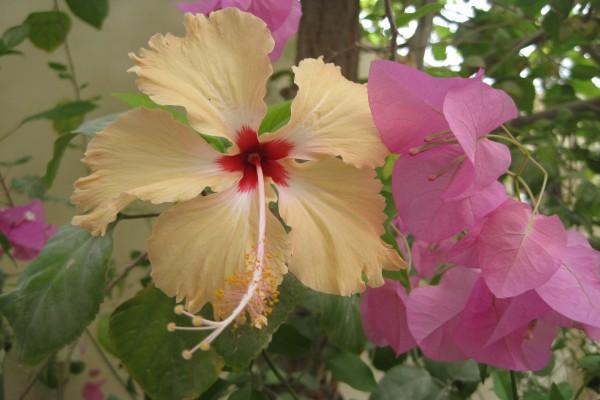 Flores rosas junto a una flor de hibisco