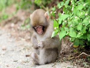 Postal: Mono con una flor entre las manos