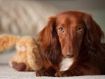 Un bonito perro de color marrón