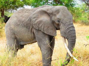 Elefante con un gran colmillo