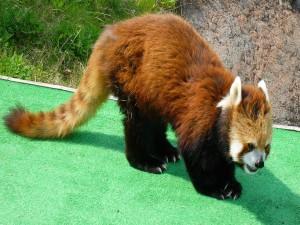 Panda rojo mostrando las uñas