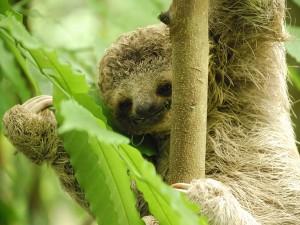 Perezoso en un árbol