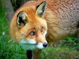 La mirada de un zorro