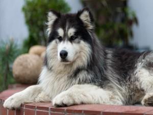 Un hermoso perro vigilando la casa