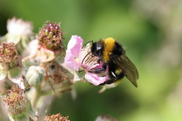 Una gran abeja en una flor