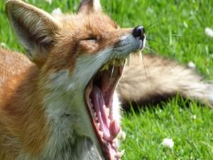 Un zorro bostezando