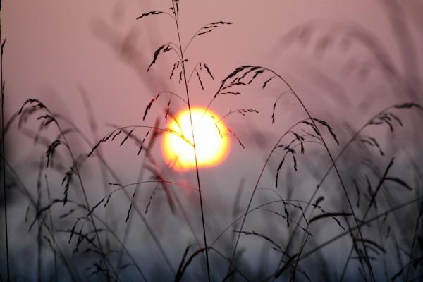 Espigas y el sol del atardecer