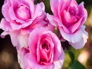 Postal: Tres hermosas rosas