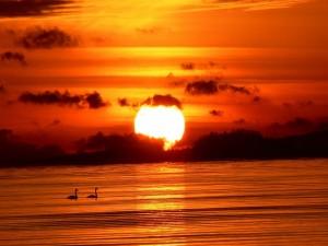 Postal: Cisnes nadando junto al gran sol del atardecer