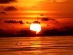 Cisnes nadando junto al gran sol del atardecer