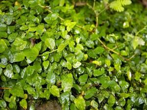 Planta de hojas verdes sobre las rocas