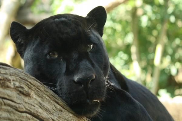 Mirada de una pantera negra