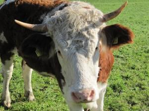Una hermosa vaca blanca y marrón