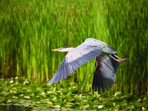 Postal: Gran ave volando sobre el agua