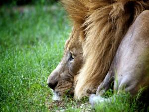 León con la cabeza sobre la hierba