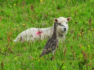 Postal: Ave y oveja entre la hierba