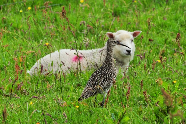 Ave y oveja entre la hierba