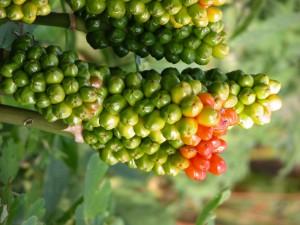 Frutos en la rama de una planta