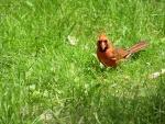 Cardenal macho sobre la hierba