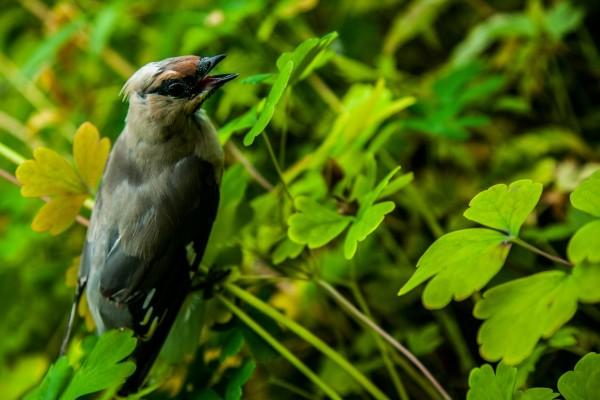 Pájaro con el pico abierto