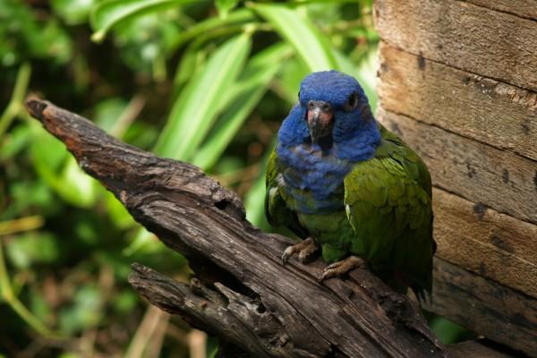 Loro azul y verde sobre un tronco