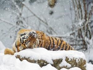 Postal: Tigre observando la nieve