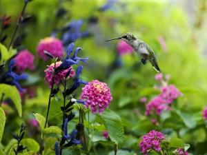 Postal: Colibrí acercándose a las flores