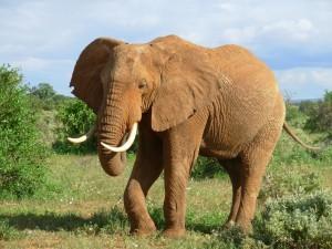 Postal: Un elefante con grandes cuernos