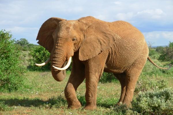 Un elefante con grandes cuernos