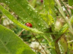 Postal: Mariquita en una planta con pinchos