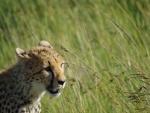 Un guepardo entre la hierba