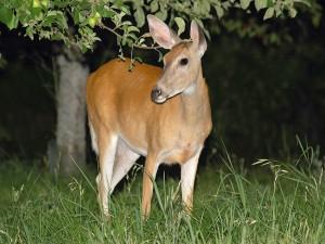 Hembra de ciervo vista en la noche