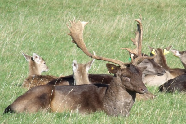 Ciervos descansando sobre la hierba
