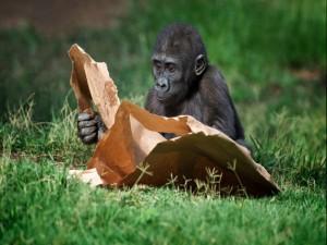 Postal: Pequeño gorila jugando con un papel
