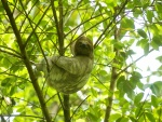Un perezoso a la sombra de un árbol