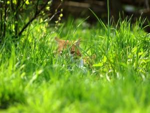 Un gato oculto en la hierba