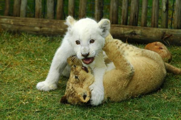 Cachorros de león jugando