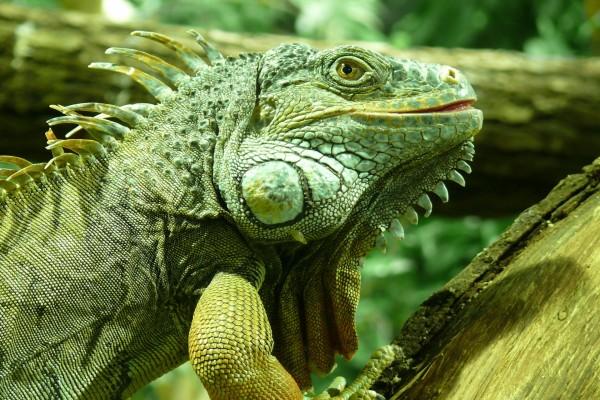 La cabeza y piel de una iguana