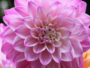 Postal: Bella dalia rosada en primer plano