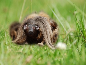 Postal: Haggis salvaje (Haggis scoticus)