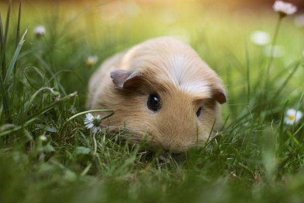Cobaya sobre la hierba